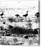 Canada Geese In Black And White Canvas Print