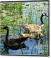 Canada Geese On Lily Pond At Reinstein Woods Canvas Print