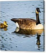 Canada Goose And Gosling Canvas Print