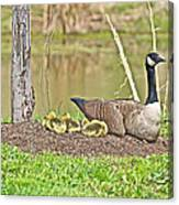 Canada Goose And Goslings Canvas Print