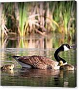 Canada Goose - Babies  8237-16x10 Canvas Print