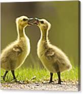 Canada Goose Babies Canvas Print