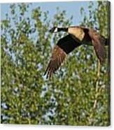 Canada Goose In Flight Canvas Print