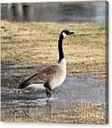 Canada Goose Canvas Print