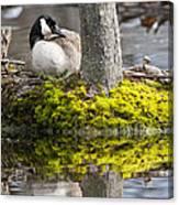 Canada Goose On Nest Canvas Print