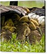 Canada Goose Pictures 189 Canvas Print