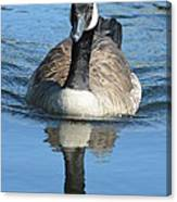 Canada Goose Reflecting Canvas Print