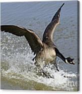Canada Goose Touchdown Canvas Print