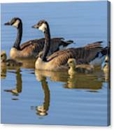 Canada Goose With Chicks Canvas Print