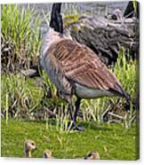 Canada Goose With Young Canvas Print