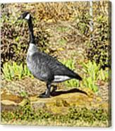Canadaian Goose Canvas Print