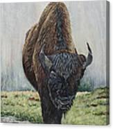 Canadian Bison Canvas Print