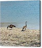 Canadian Geese 2 Canvas Print