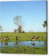 Canadian Geese Community In West Haven Canvas Print