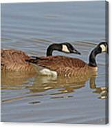 Canadian Geese Mates Canvas Print