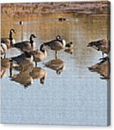 Canadian Geese Stop Over Canvas Print