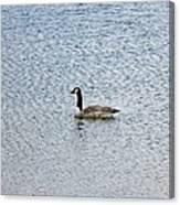 Canadian Goose 2 Canvas Print