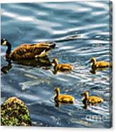 Canadian Goose And Goslings Canvas Print