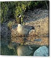 Canadian Goose Reflection Canvas Print