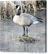 Canadian Goose Standing On A Bog In A Swamp. Canvas Print