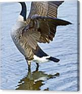 Canadian Goose Stretching Canvas Print