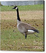 Canadian Goose Strut Canvas Print