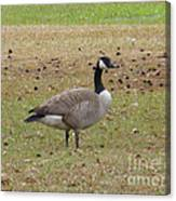 Canadian Goose Strutting  Canvas Print