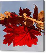 Canadian Maple Leaves In The Fall Canvas Print