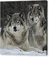 Canadian Timber Wolves Canvas Print