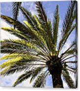 Canary Island Date Palm Canvas Print