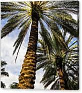 Canary Island Date Palms Canvas Print