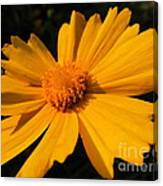 Canary Marigold Canvas Print