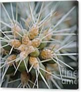 Cane Cholla Cactus Spines Canvas Print