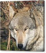Canis Lupus  Canvas Print