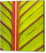 Canna Lily Red Stripe  Canvas Print