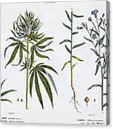 Cannabis And Flax Canvas Print