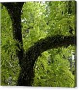 Canopy Of Cedar Elm Canvas Print