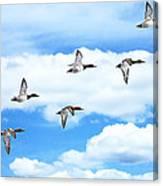 Canvasback Ducks In Flight Canvas Print