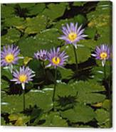 Cape Blue Water-lily Group Blooming Canvas Print