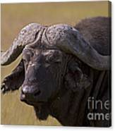 Cape Buffalo   #0607 Canvas Print