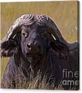 Cape Buffalo   #0609 Canvas Print
