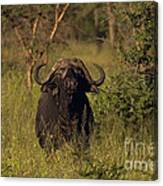 Cape Buffalo   #6851 Canvas Print
