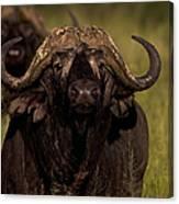 Cape Buffalo   #6883 Canvas Print