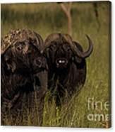 Cape Buffalo   #6884 Canvas Print