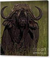 Cape Buffalo   #6885 Canvas Print