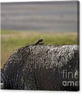 Cape Buffalo And Bird   #9873 Canvas Print
