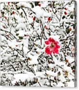 Cape Cod Beach Rose In Fresh Snow Canvas Print