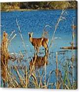 Cape Hatteras Deer In Pond 3 11/22 Canvas Print