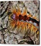 Cape Lappet Moth Caterpillar Canvas Print