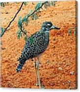 Cape Thick-knee Canvas Print